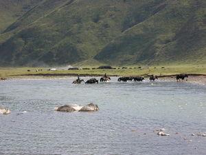 Men on horseback herding yaks across a river.