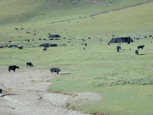 Yaks grazing near nomad tents in a plain.
