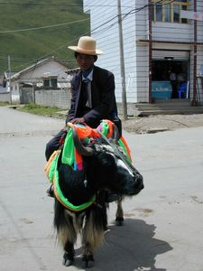 A Tibetan man riding a yak decorated for the festival on the street in Serta.