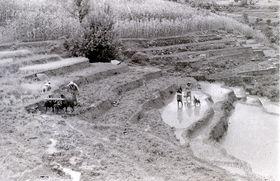Paddy planting (khet ropain)