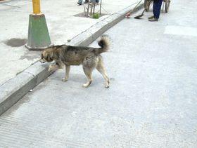 Dog in Lhagang. (Lhagang, China)